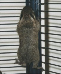 A baby degu is climbing in the bars of it's cage.