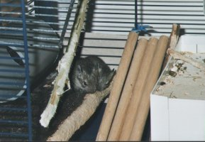 Degus gnaw at everything. Have a look at the shelf on which the baby degus sit !