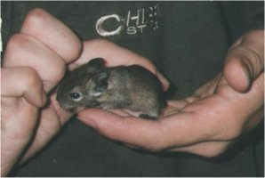 If you pick your degu up out of it's cage regularly it will soon get used to you.