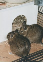 This kind of rodent's house is very suitable for degus. You can buy such a house in the pet store.