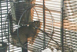 A mill-wheel , the degu's favorite toy !!