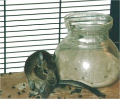 A tea-pot made of glass is very suitable as a degu bath.