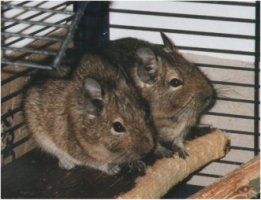 Degus Henk and Isabel