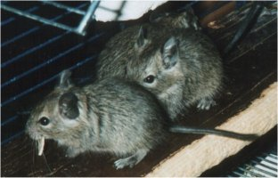 Baby degus. One has a piece of food in it's mouth.