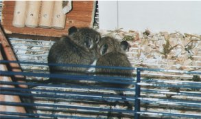 Baby degus. They can become five to eight years old.