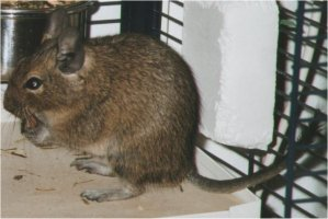 A degu holds food like a squirrel does, and it holds up it's tail.