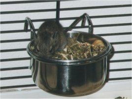 You can best choose to give your degus a mix of guinea pig- and chinchilla-food
