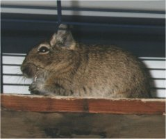This degu is eating hay. Hay is full of fibres, which is very healthy