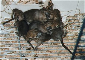 A nest with degu babies. They fell out of the nest when mother jumped out. They are only a few days old