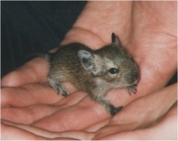 A degu baby of about two weeks old