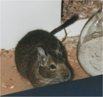 "A degu, or ""Octodon degus"""